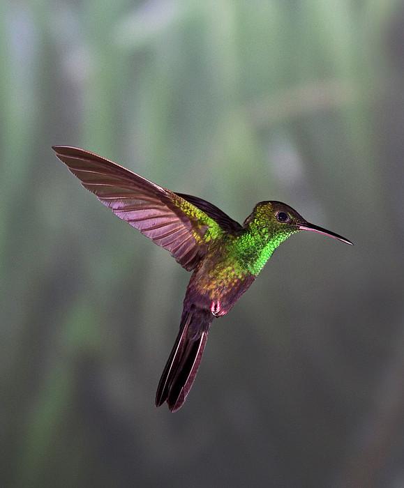 Hummingbird Print by David Tipling