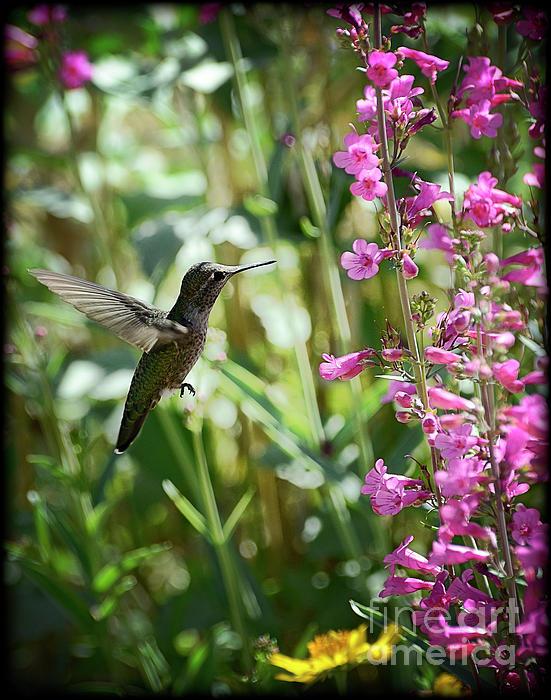Hummingbird On Perry's Penstemon Print by Saija  Lehtonen