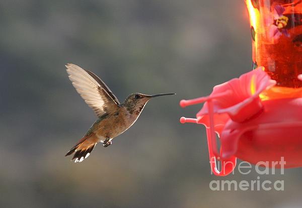 Hummingbird Print by Scott Brown
