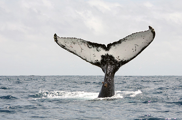 Humpback Whale Tail Print by Photography by Jessie Reeder