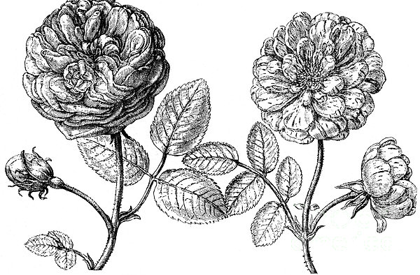 Hundred-leafed Rose Print by Granger