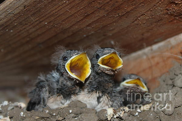 Hungry Cute Little Baby Birds  Www.pictat.ro Print by Preda Bianca Angelica