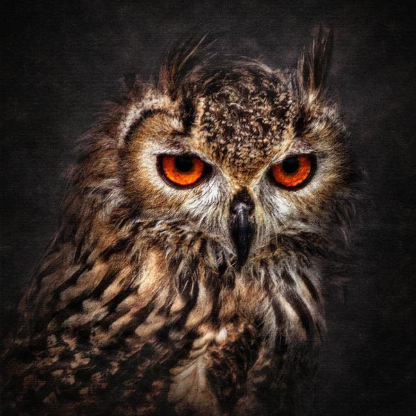 Hunting Eyes Print by Ian David Soar