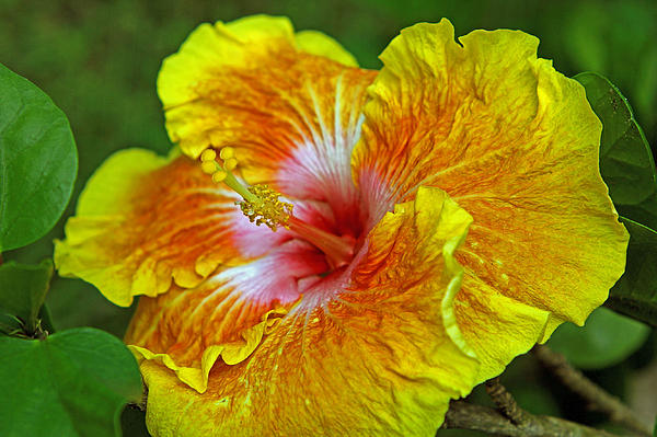 Larry Nieland - Hybrid Hibiscus side