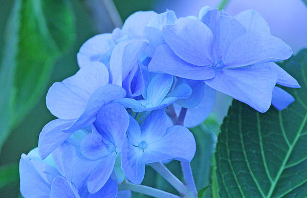 Hydrangea Blue Print by Becky Lodes