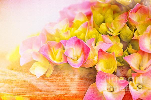 Hydrangeas In Bloom Print by Elaine Manley