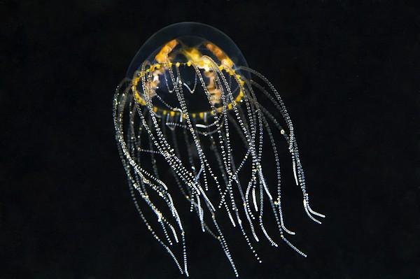 Hydrozoan Medusa Print by Alexander Semenov