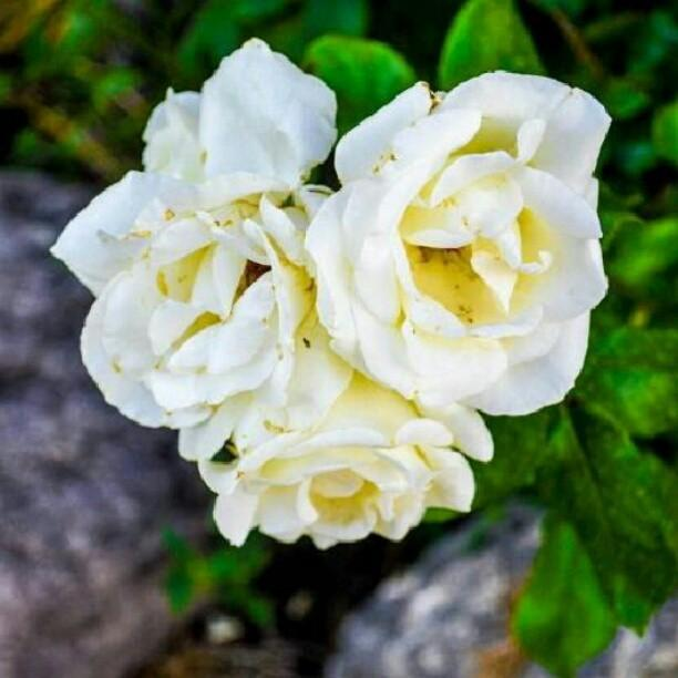 my favourite flower rose The size of these flowers differ from plant to plant rose plant is used in garden to decorate by (10) my family essay (6) my favorite subject (7) my favourite.