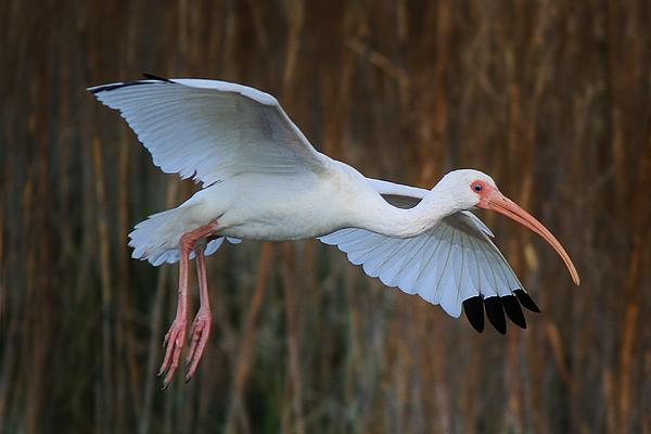 Ibis In Flight Print by Paulette Thomas