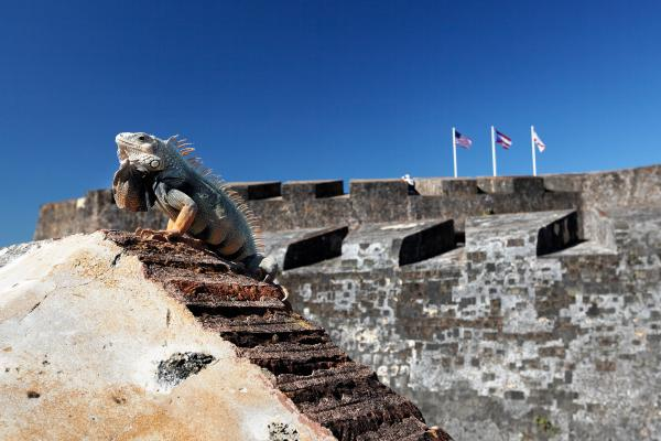 Iguana Basking On The Wall Of The San Cristobal Fort San Juan Puerto Rico. Print by George Oze