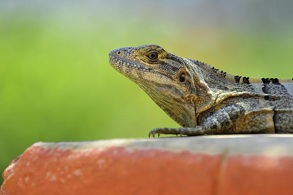 Edward Kovalsky - Iguana