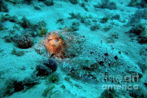 Illuminated Eye Of A Common Cuttlefish Print by Sami Sarkis