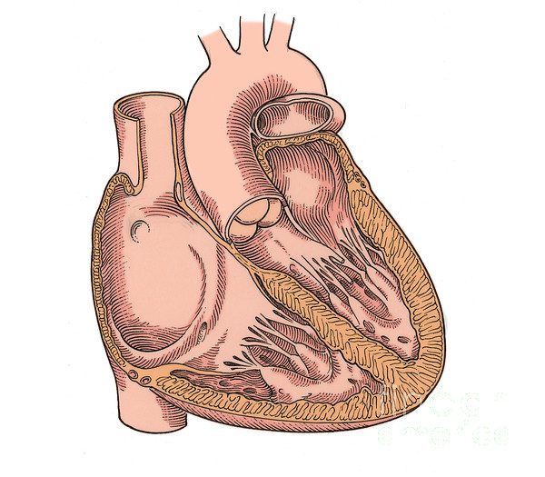 Illustration Of Heart Anatomy Print by Science Source