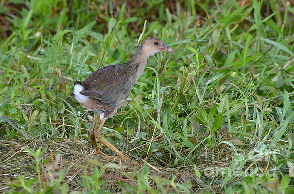 Kathy Gibbons - Immature Purple Gallinule
