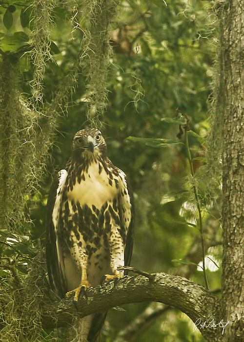 Immature Red-tail Hawk Print by Phill  Doherty