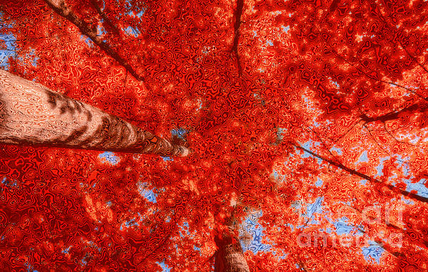 Impression Of Red Maple Print by Charline Xia