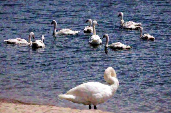 Cheryl Cencich - Impressionist Swans