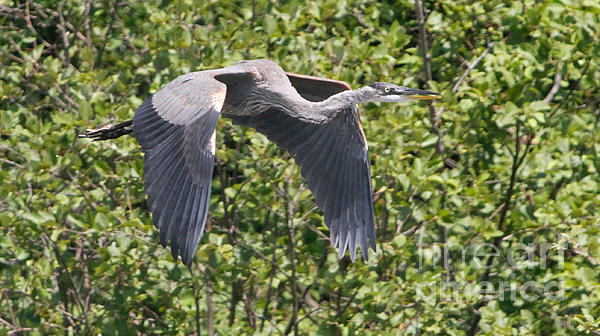 Robert Pearson - In Flight Blue Heron