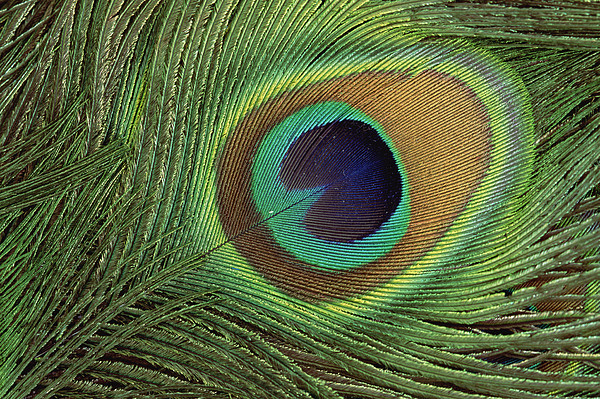 Indian Peafowl Pavo Cristatus Display Print by Gerry Ellis