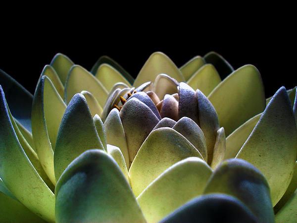 Sumit Mehndiratta - Indonesian white lotus
