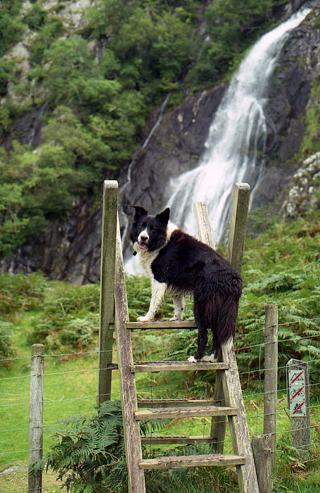 Indy At Aber Falls Print by Michael Haslam