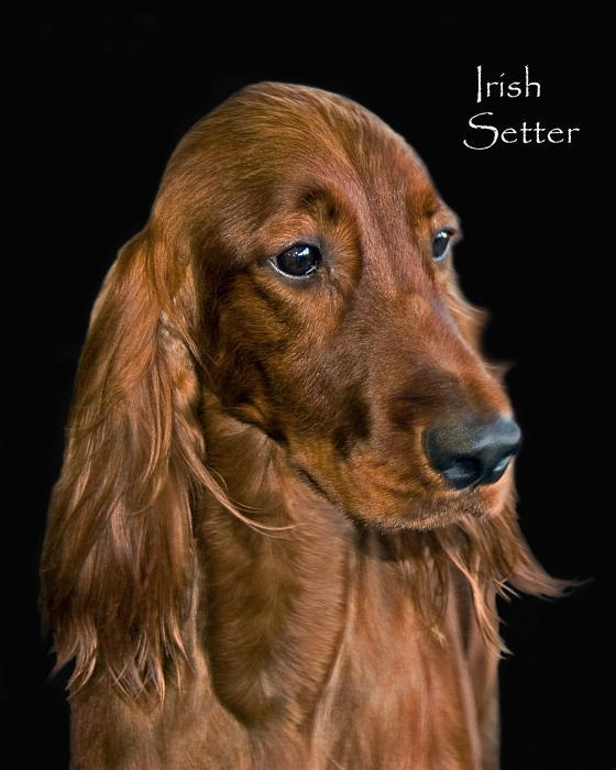 Irish Setter Print by Larry Linton