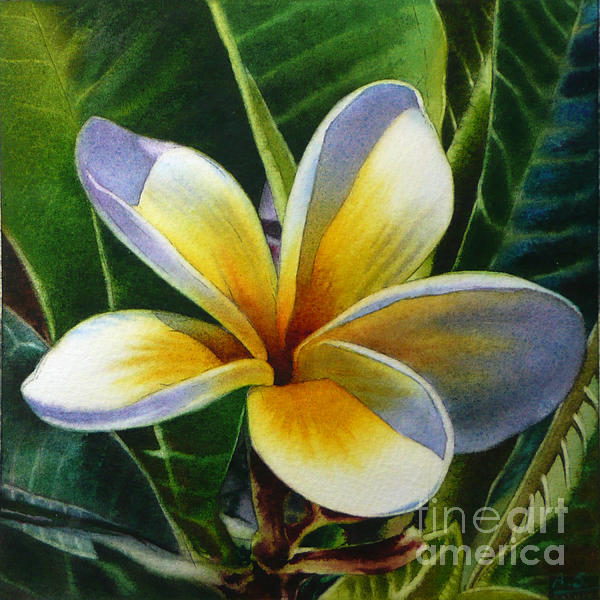 Arena Shawn - Island Beauty - White Plumeria