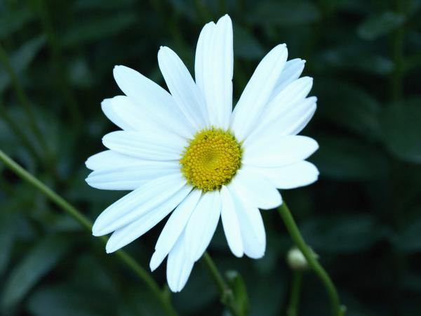 Isolated Daisy Photograph