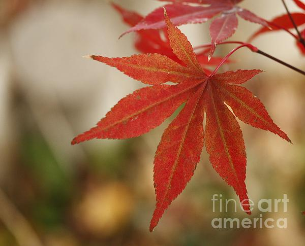 Yumi Johnson - Japanes Maple Leaf