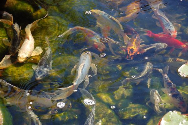 Japanese koi fish by susan heller for Japanese koi art prints
