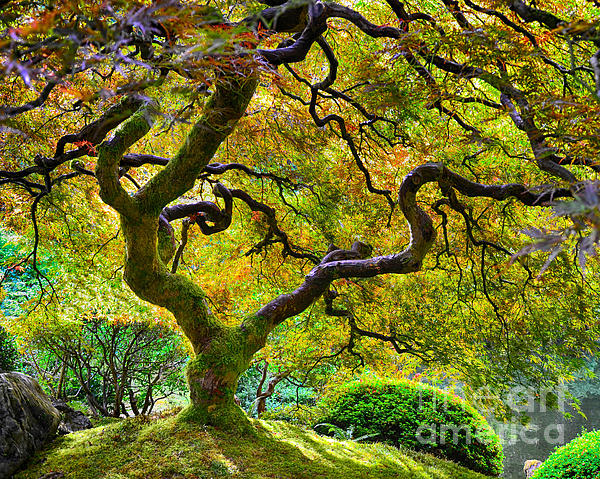 Chuck Roderique - Japanese Maple Tree