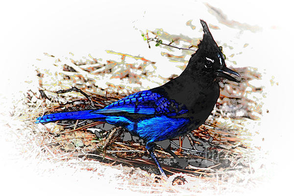 Jay On Pine Needles Print by Val Armstrong