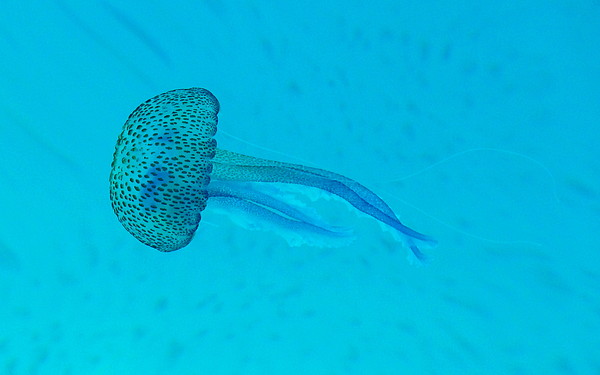 Jellyfish In  Wild Print by Sir Francis Canker Photography