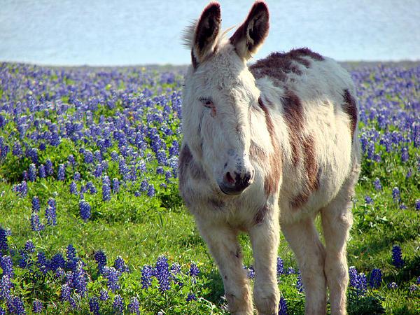 Jesus Donkey In Bluebonnets Print by Linda Cox