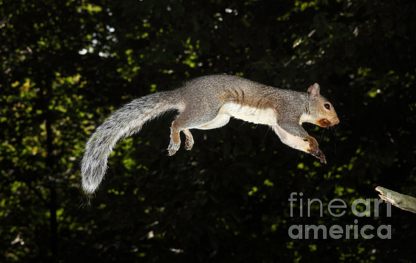 Jumping Gray Squirrel Print by Ted Kinsman