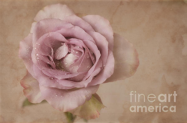 HJBH Photography - Just a rose