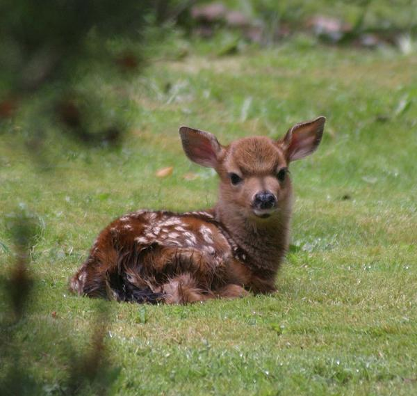Just Born Bambi Print by Kym Backland