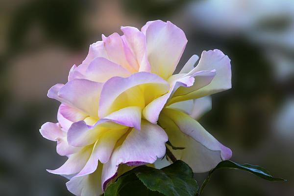 Alena Newcomb - Just Rose