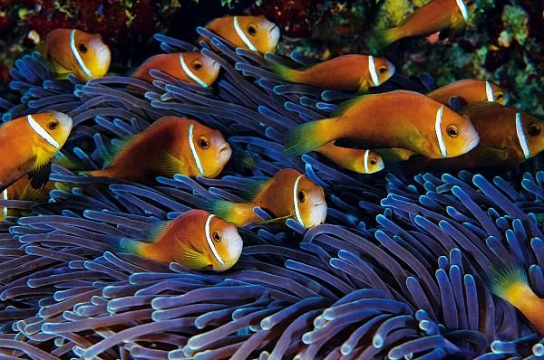 Juvenile Maldives Clownfish Swim Print by David Doubilet