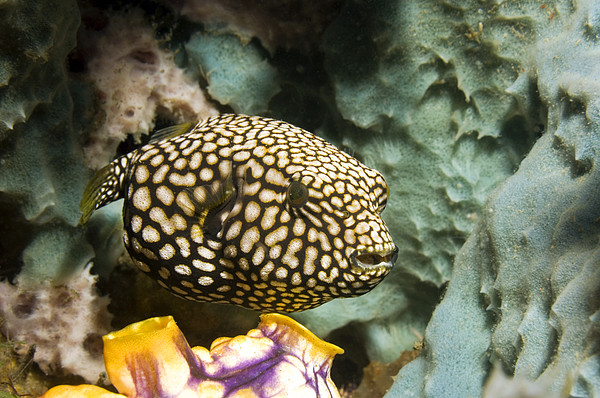 Juvenile Map Pufferfish Print by Georgette Douwma