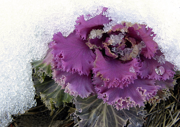 Kale Plant In Snow Print by Sandi OReilly