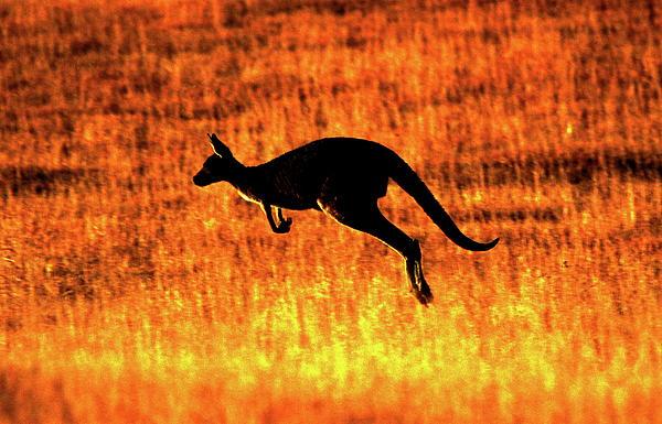 Kangaroo Sunset Print by Bruce J Robinson