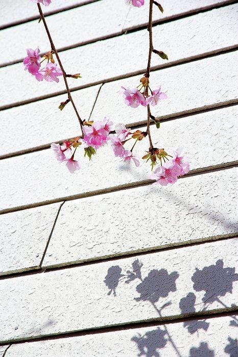 Kawadu Sakura Print by Privacy Policy
