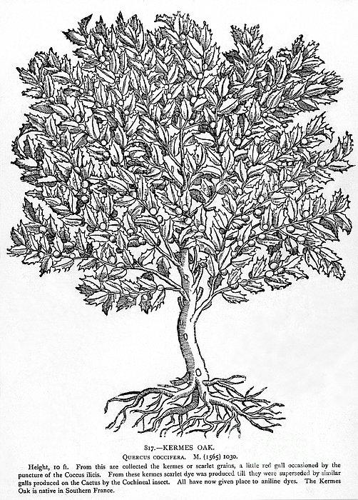 Kermes Oak Tree Print by Granger