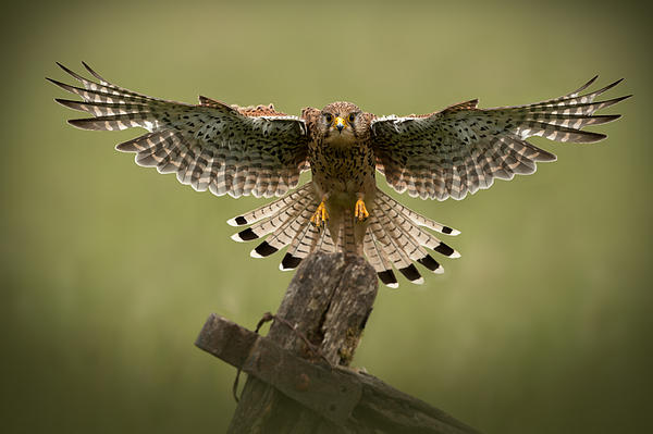 Kestrel On Final Approach Print by Andy Astbury