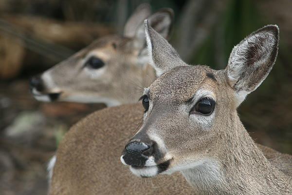 Key Deer Florida Print by Valia Bradshaw