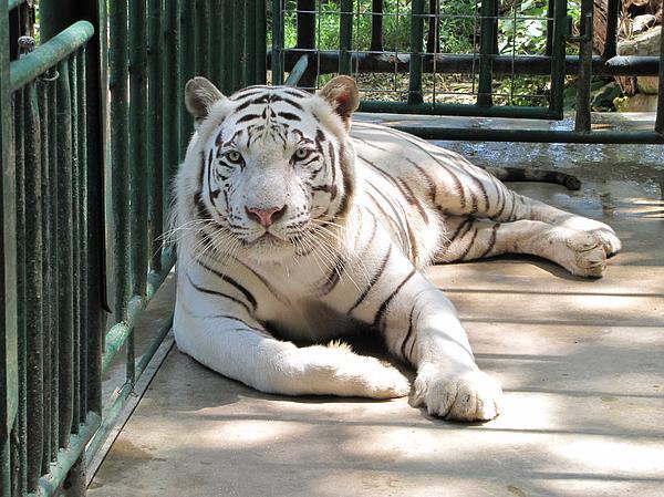 Kimar the white tiger Photograph