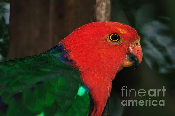 Kaye Menner - King Parrot - Male 2