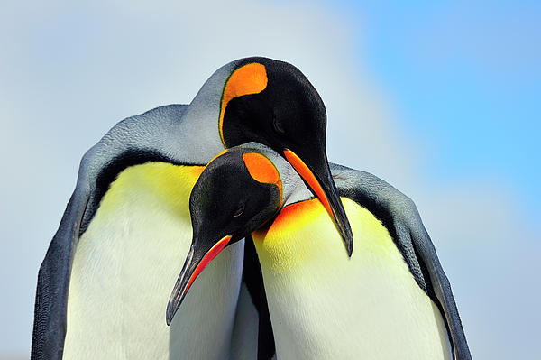 King Penguin Print by Tony Beck