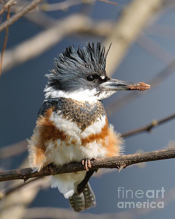Craig Leaper  - Kingfisher
